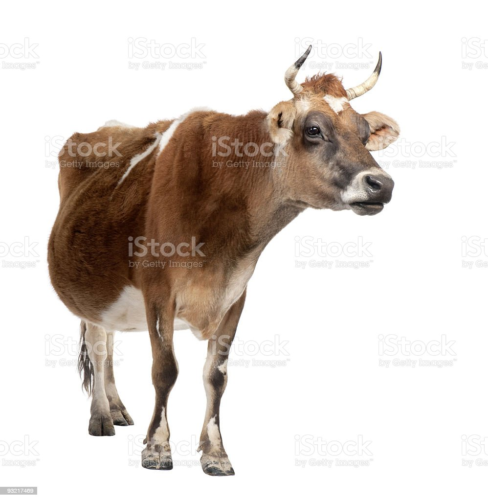 Brown Jersey cow (10 years old) stock photo