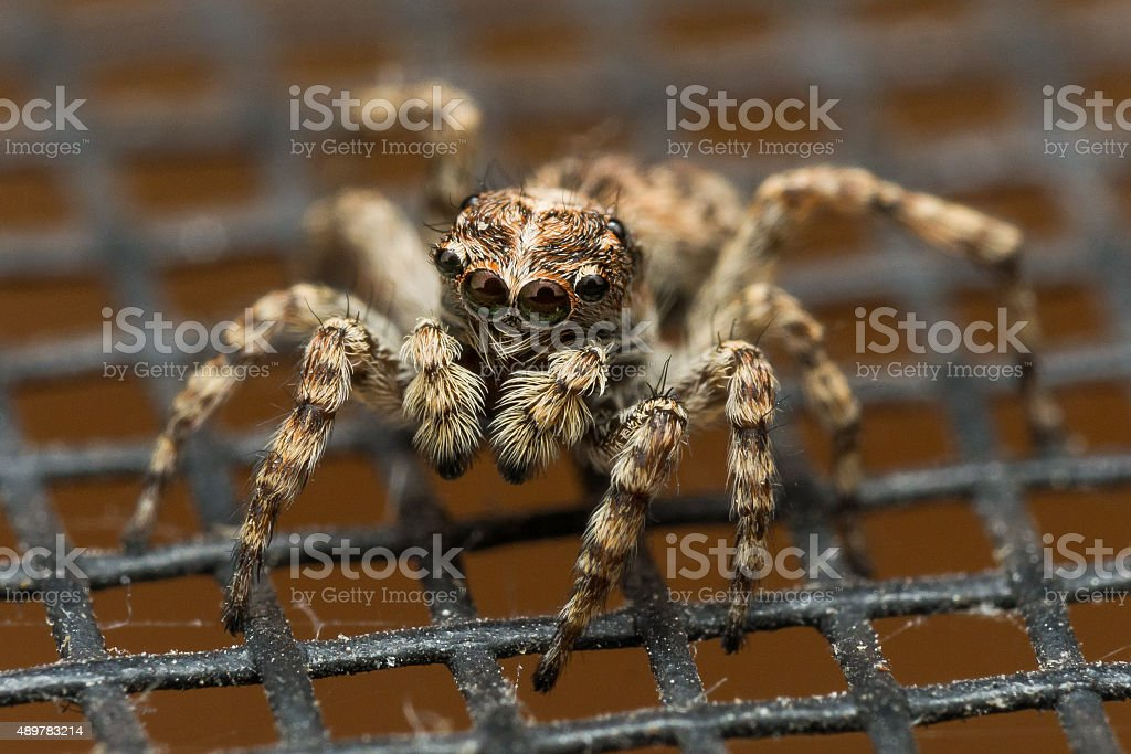 Brown Jumping Spider on Window Screen with Reflections in Eyes stock photo