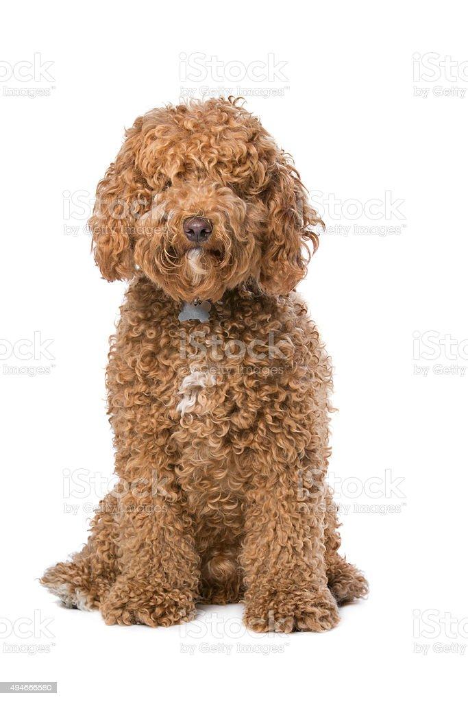 brown Labradoodle stock photo