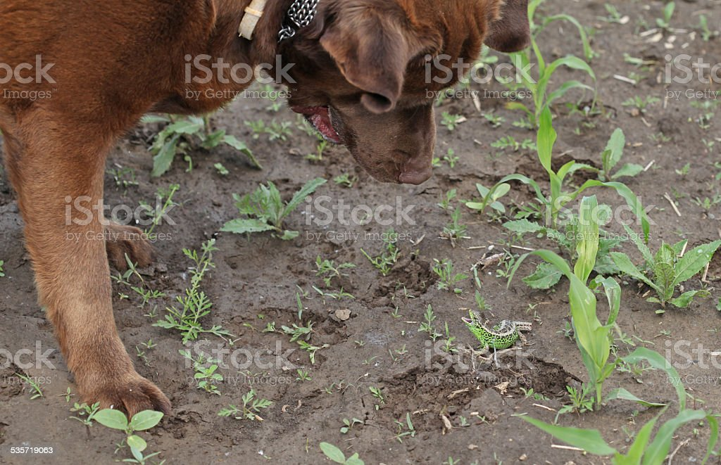 Brown labrador is playing with a green lizard stock photo