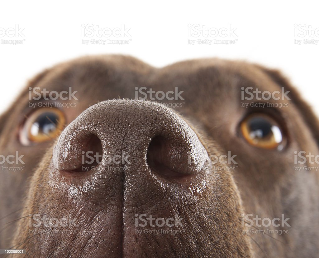 Brown labrador nose close-up stock photo