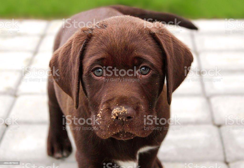 Brown labrador puppy in garden stock photo