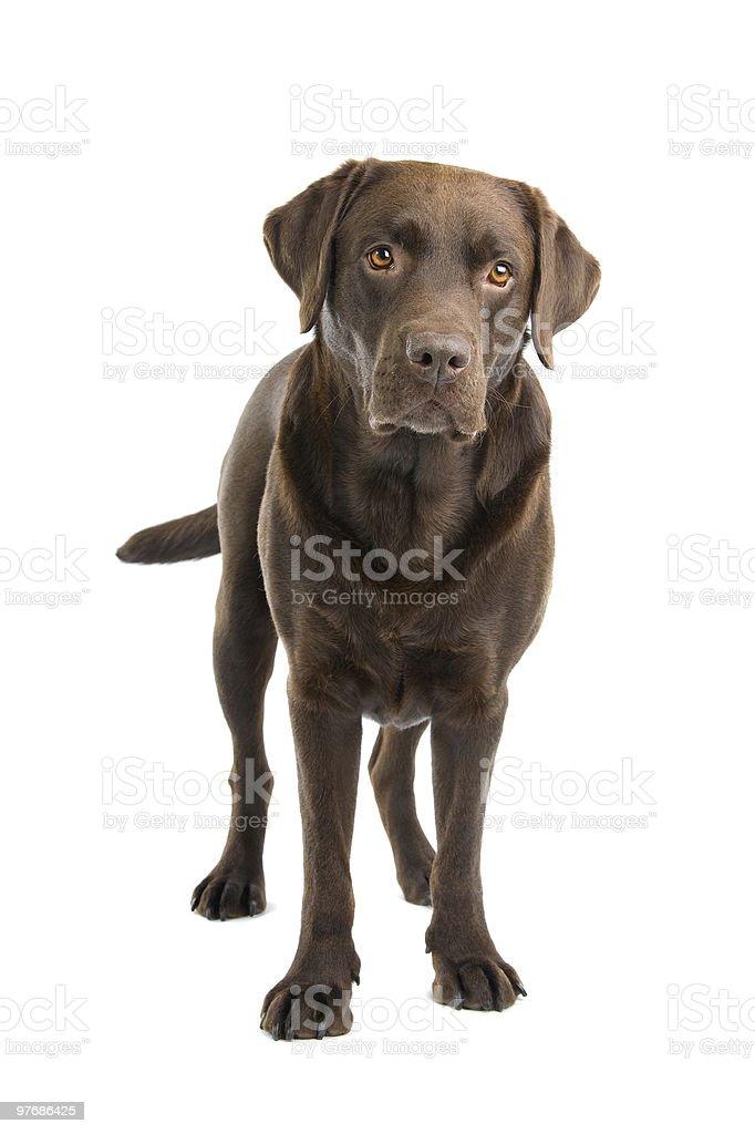 brown labrador retriever dog stock photo