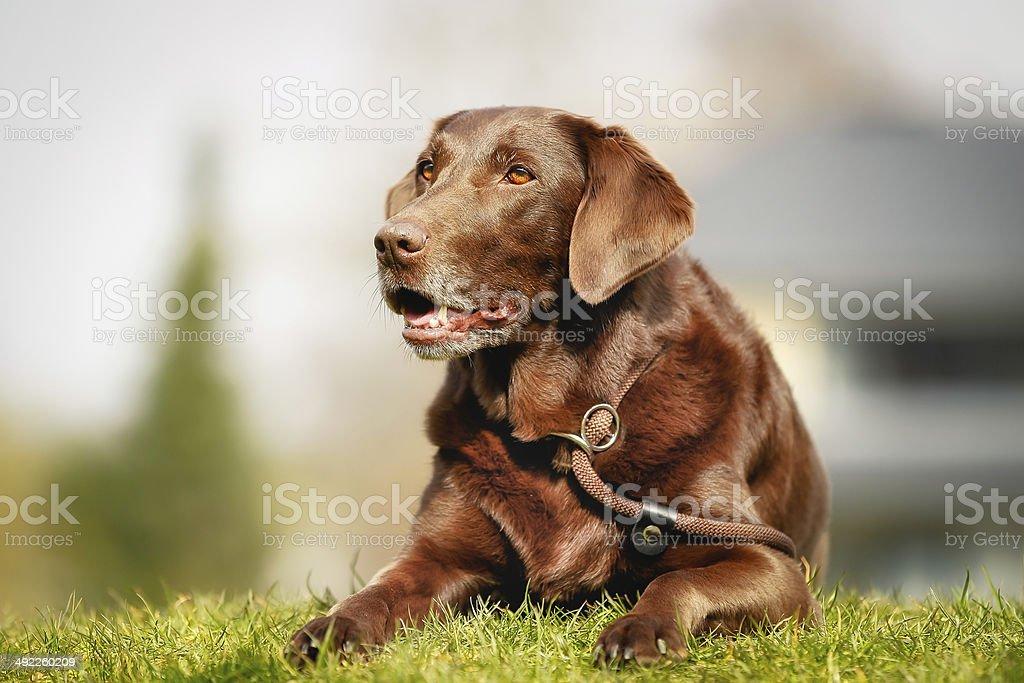 Brown labrador retriever stock photo
