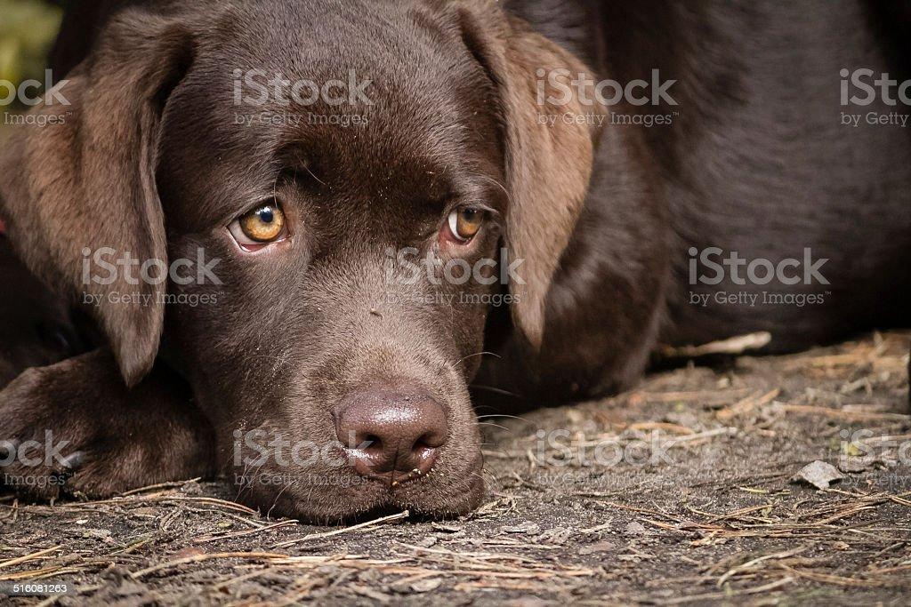 labrador marrone foto stock royalty-free