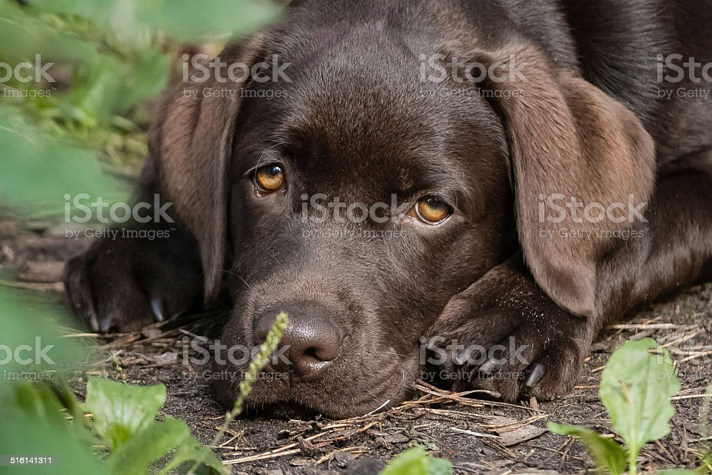 labrador marrone foto stock royalty-free