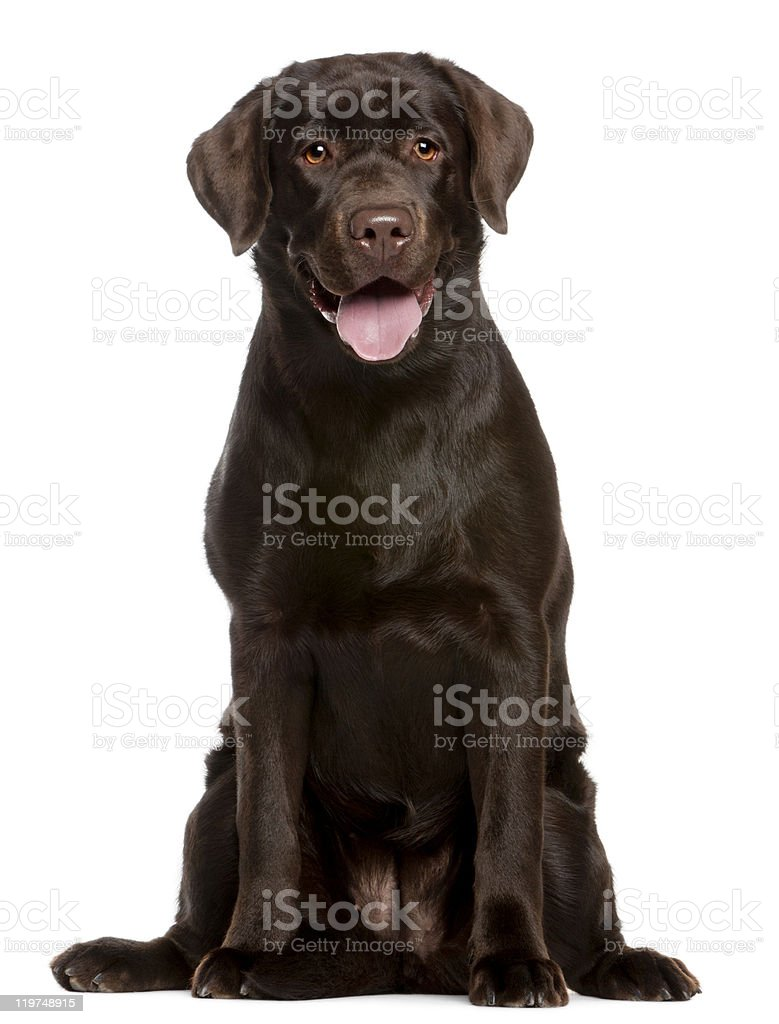 Brown Labrador retriever puppy with tongue lolling stock photo