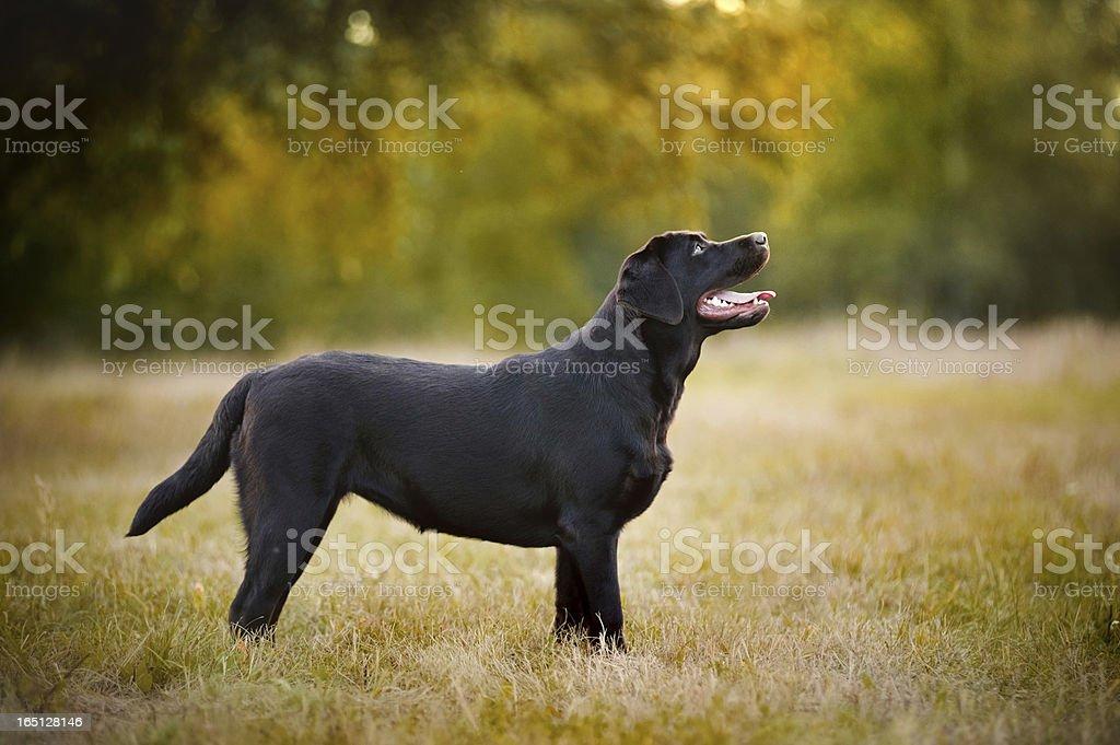 brown Labrador standing royalty-free stock photo