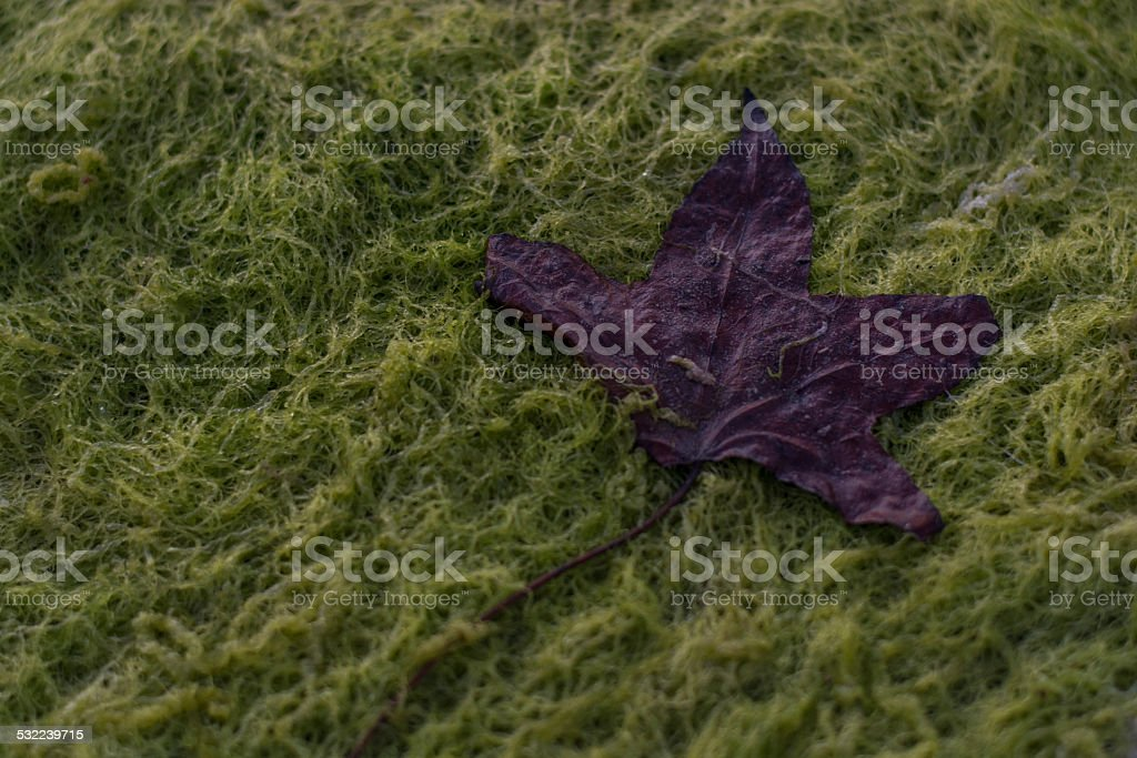 Brown leaf lying on a bed of algae stock photo