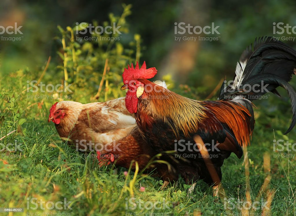 Brown Leghorn Free range rooster stock photo