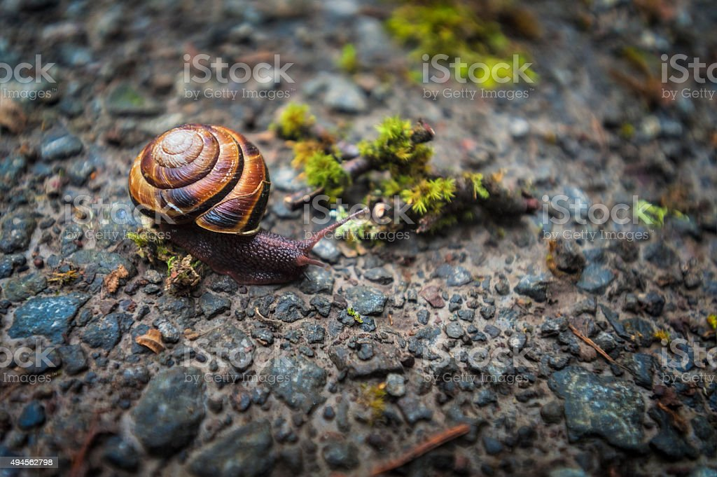 Brown lipped Snail stock photo