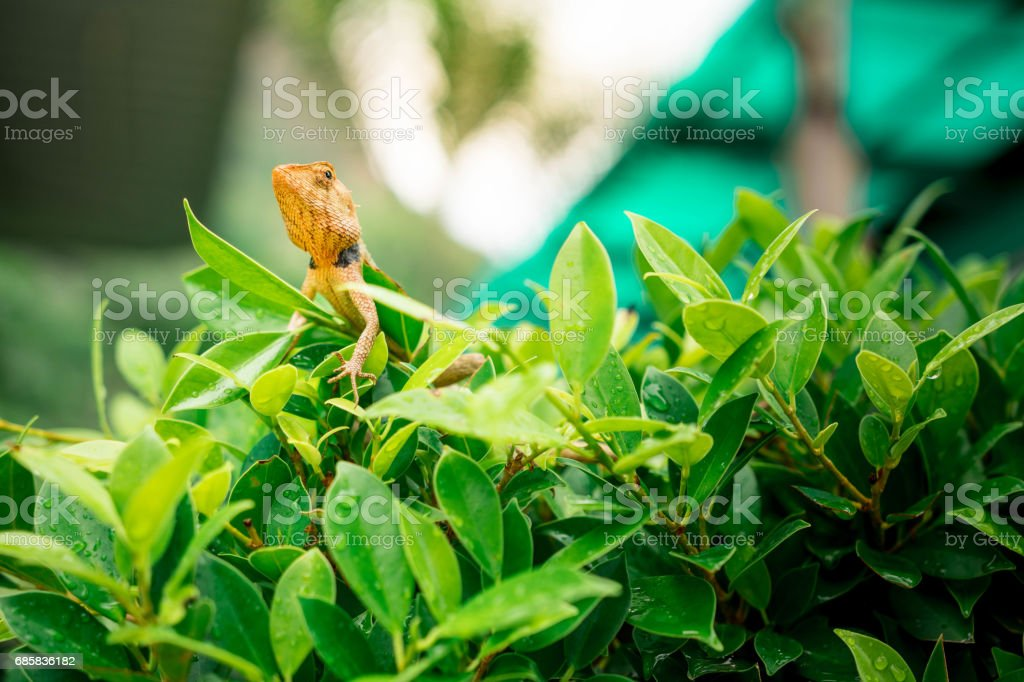 Brown lizard hanging On the green bushes, with The sun shining down on its. stock photo