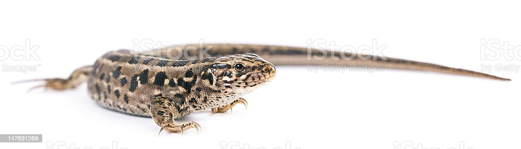 Brown Lizard Isolated stock photo