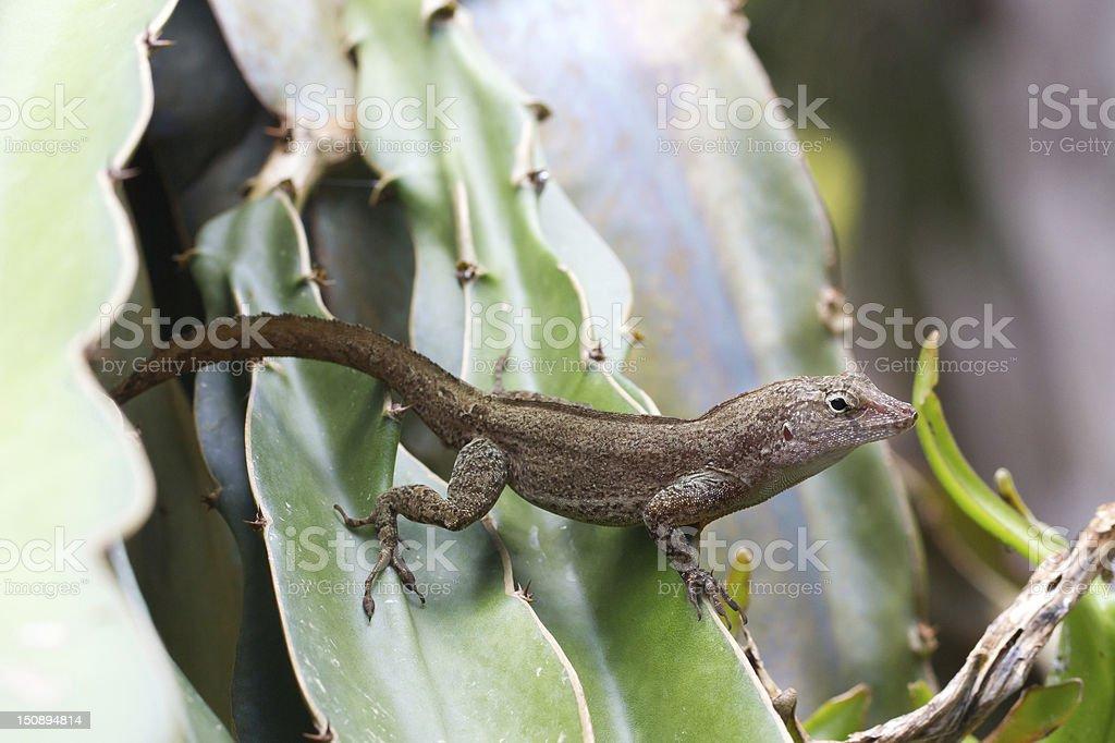brown lizard stock photo
