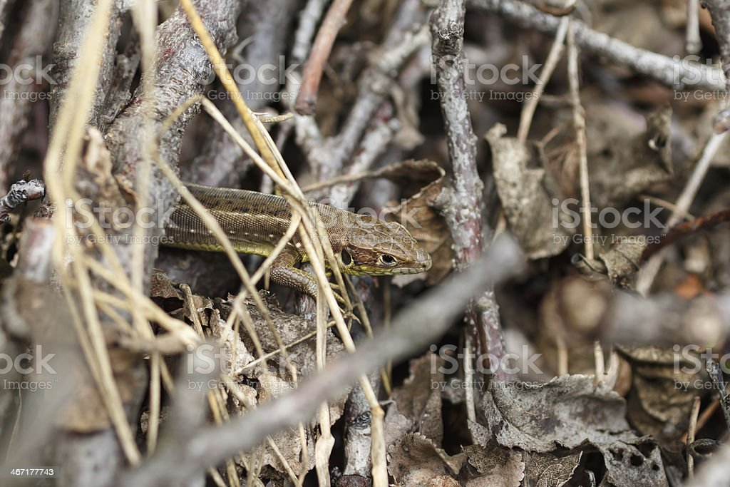 brown lizard royalty-free stock photo