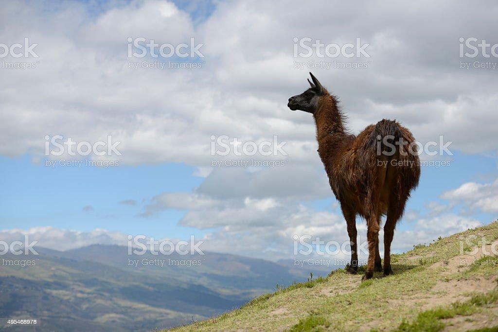 Brown llama on the field. stock photo