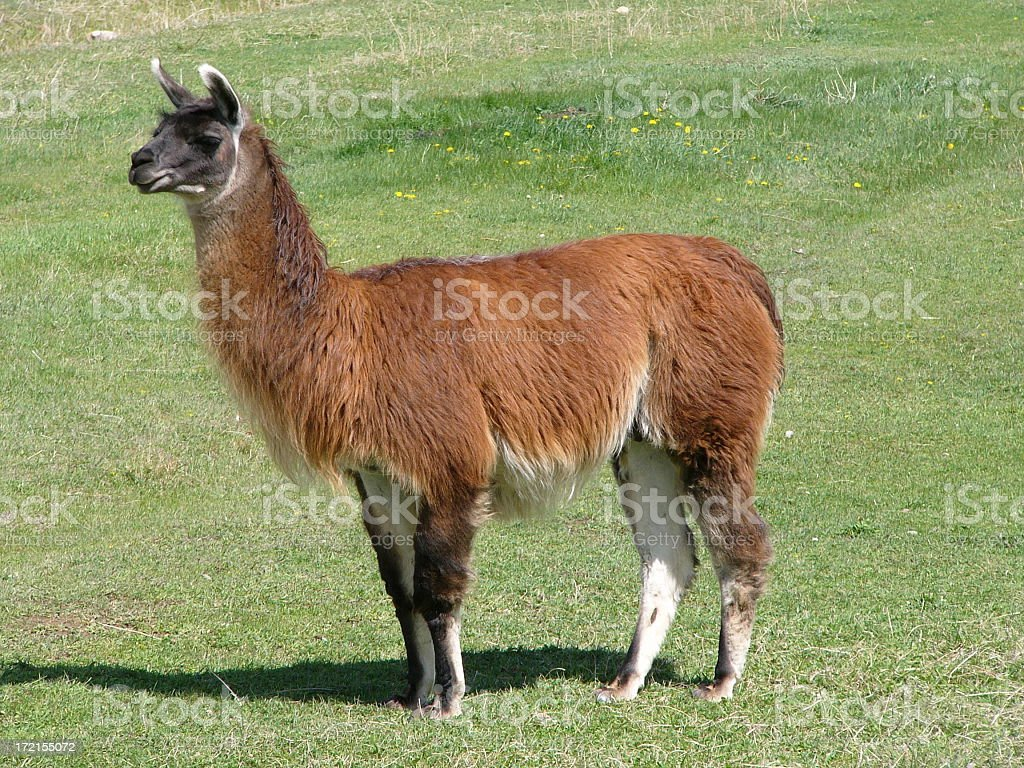 A brown llama standing in a field stock photo
