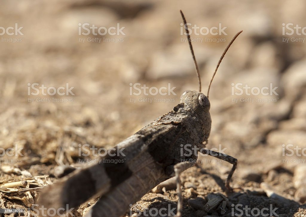 Brown locust close up stock photo