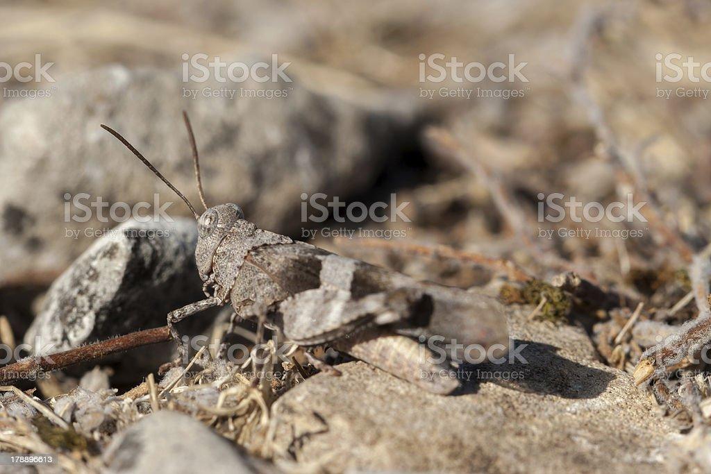 Brown locust close up stock photo
