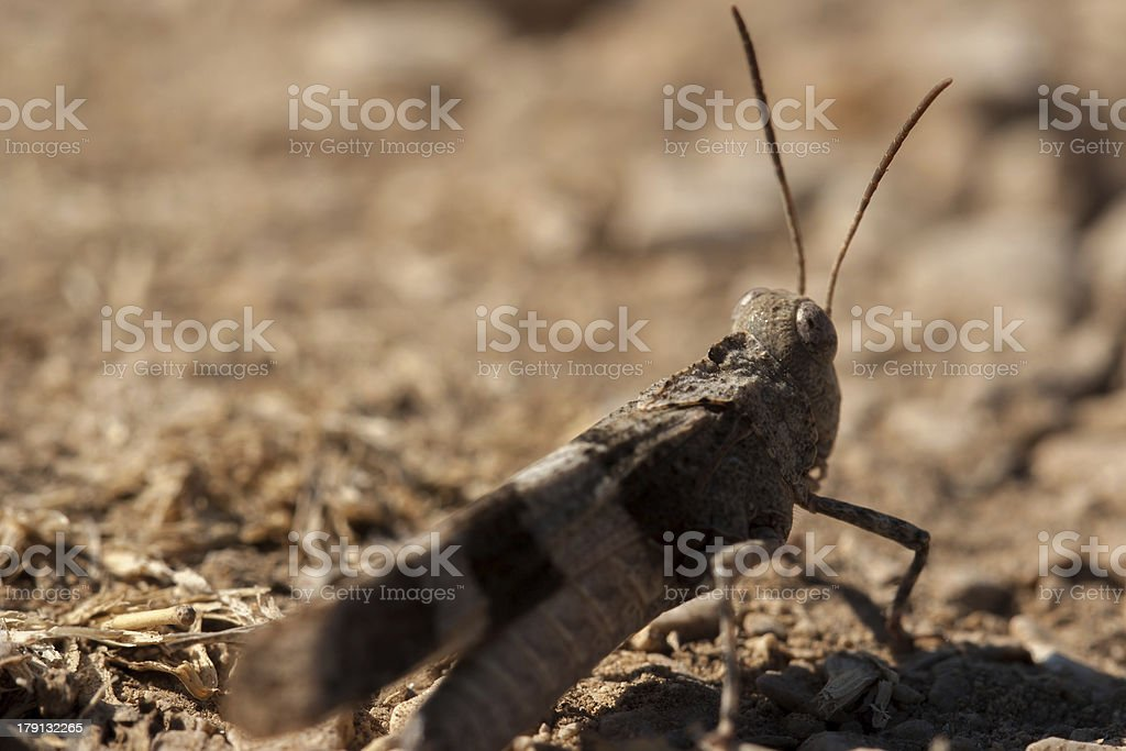 Brown locust close up royalty-free stock photo