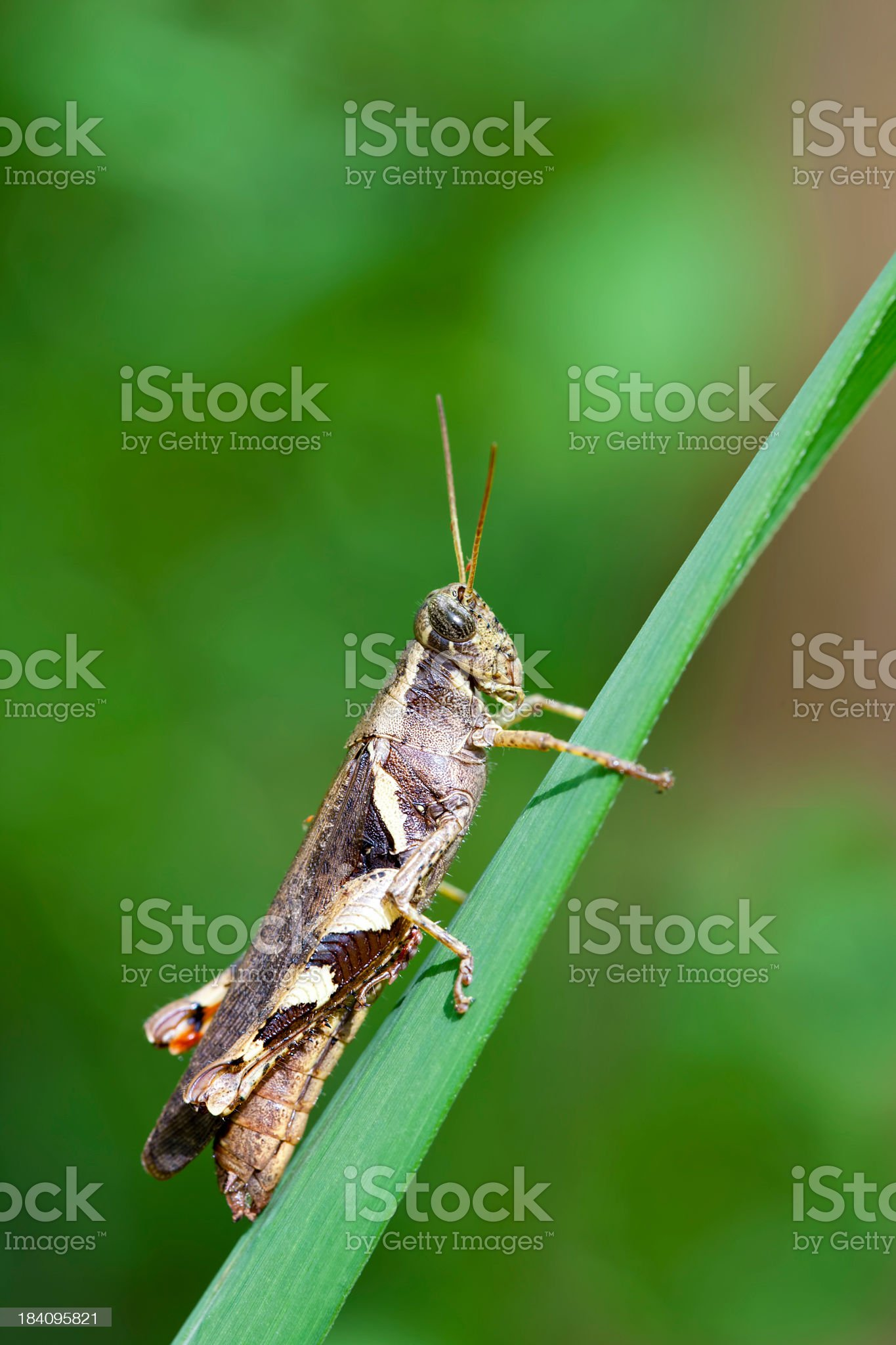 Brown locust on a blade of grass. royalty-free stock photo