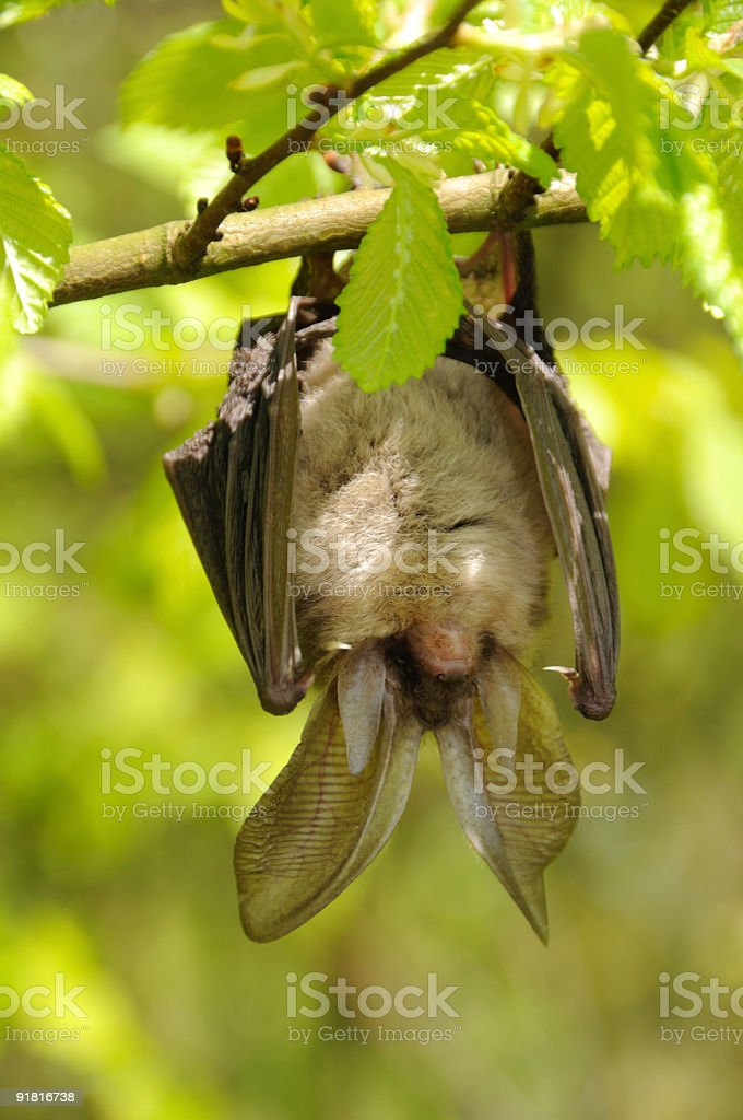 Brown long-eared Bat hanging. royalty-free stock photo