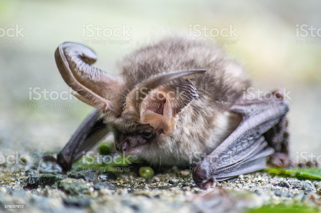 Brown Long-eared Bat on Wall stock photo