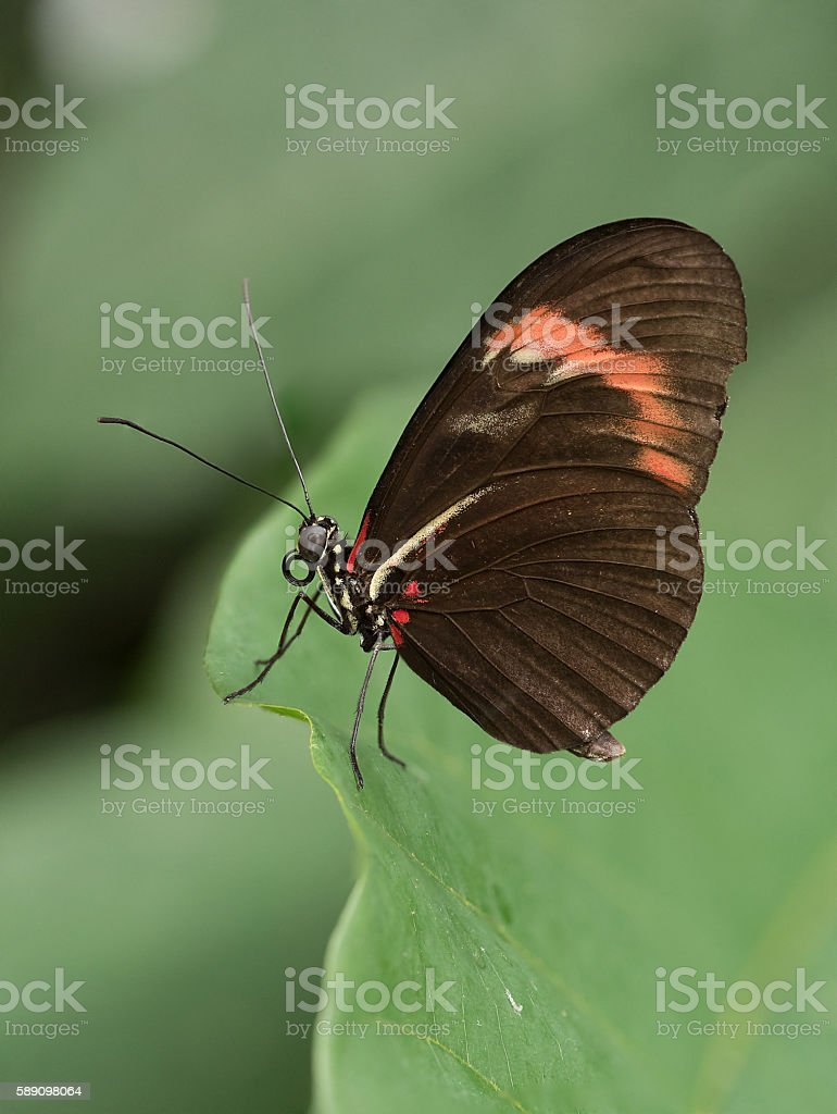 Brown Longwing Butterfly Resting on a Tropical Leaf. stock photo