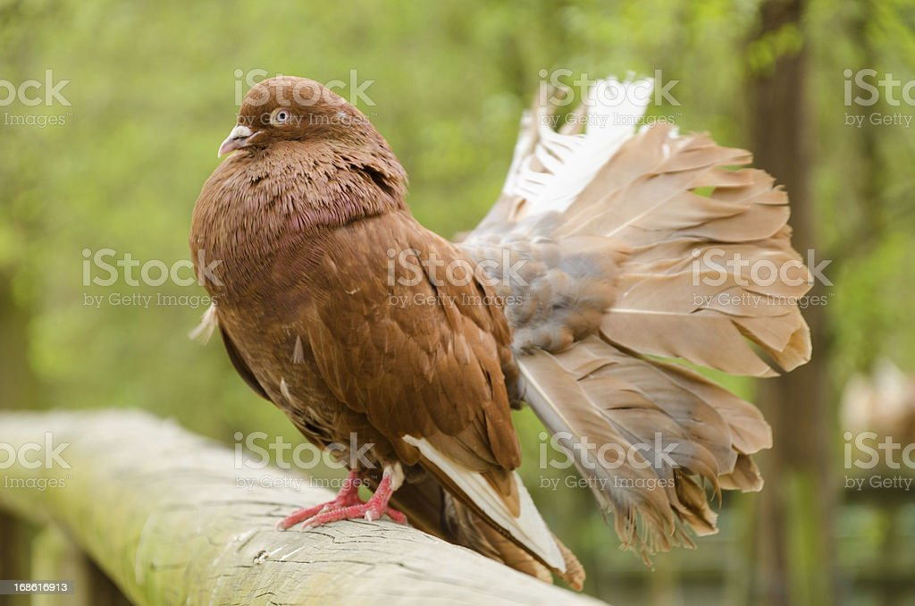 brown male fantail pigeon stock photo