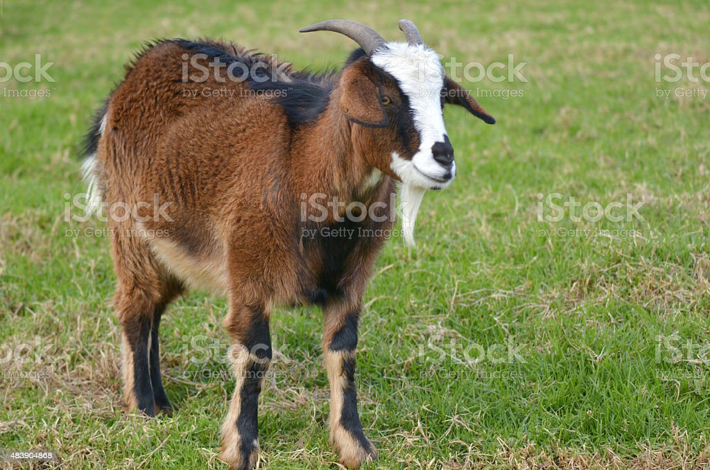 Brown male Goat stock photo