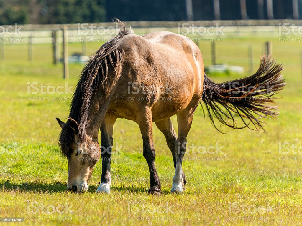 Brown mare grazing in green field with tail swishing stock photo