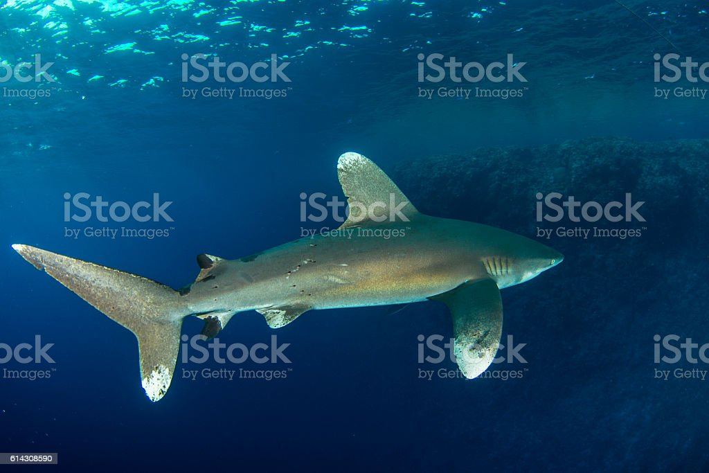 Brown Milbert's sand bar shark stock photo
