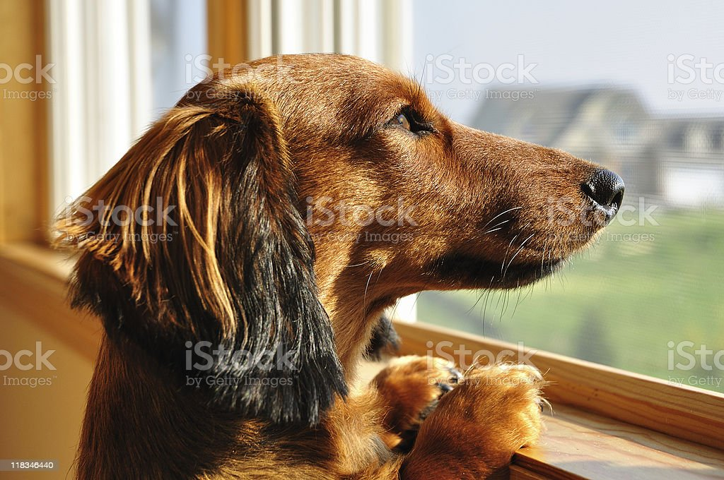 Brown miniature dachshund looking out of a window stock photo