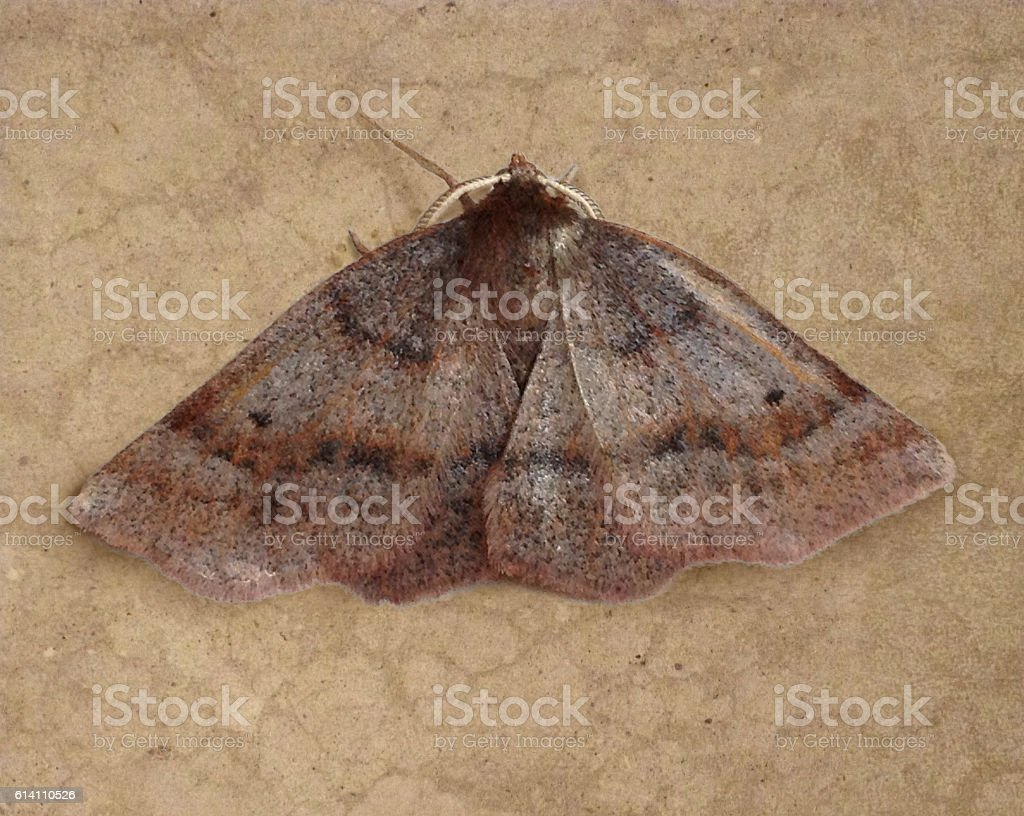 Brown Moth Insect Wings Animal in Nature Beautiful Symmetrical Pattern stock photo