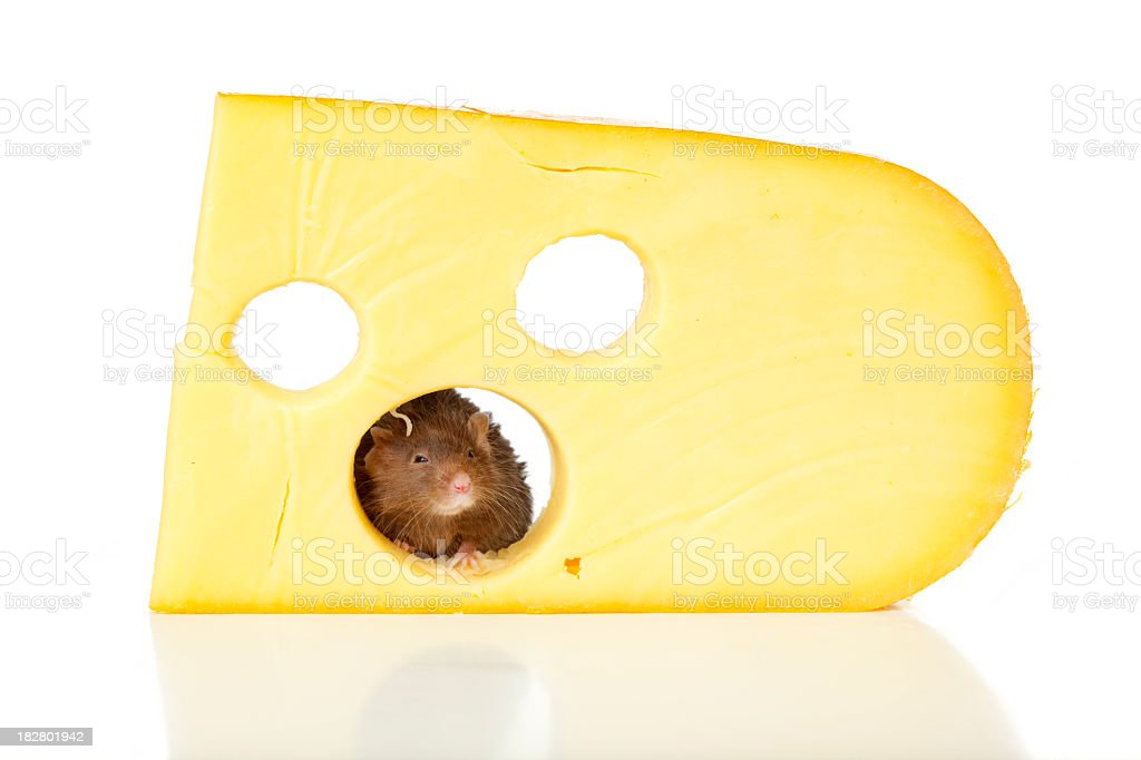 Brown mouse and Swiss cheese. royalty-free stock photo