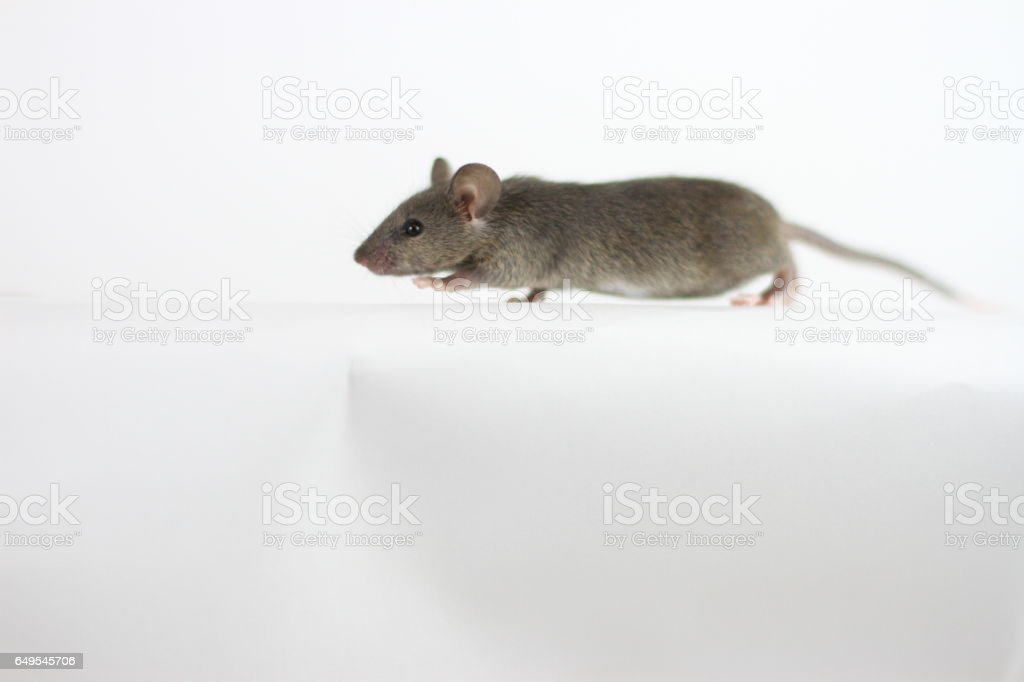 Brown Mouse Body Shot on White Background stock photo