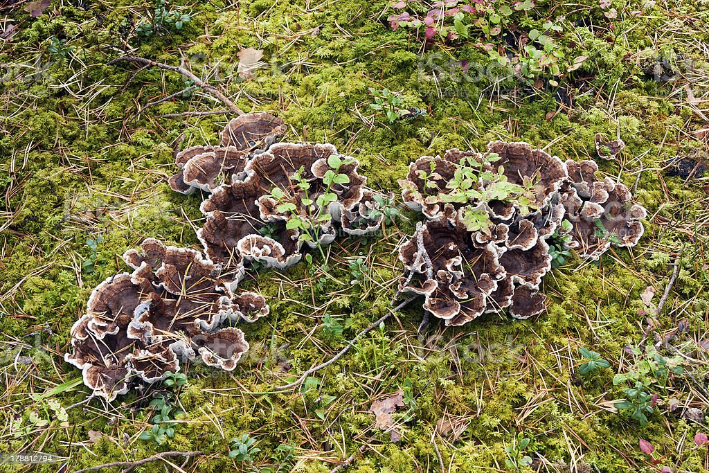 Brown mushrooms royalty-free stock photo
