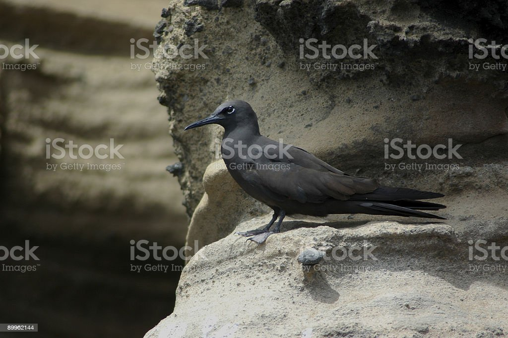 brown noddy, Anous stolidus galapagensis stock photo