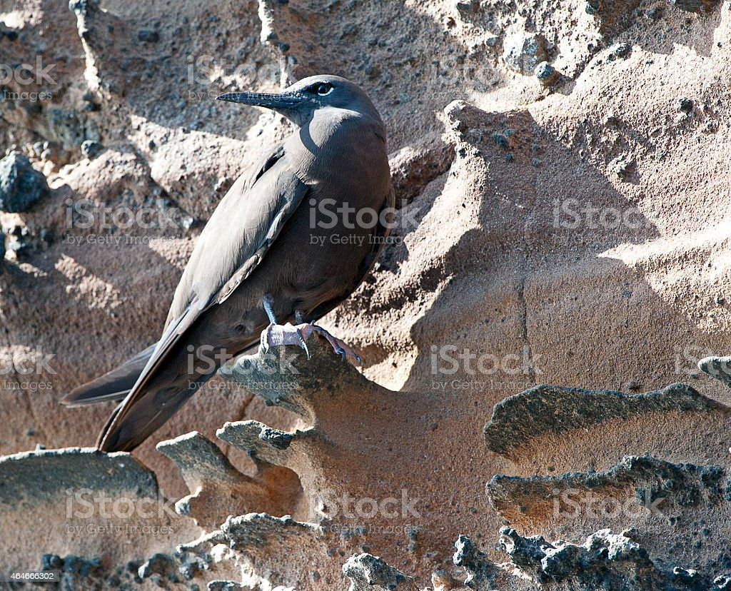 Brown Noddy perched in Galapagos stock photo