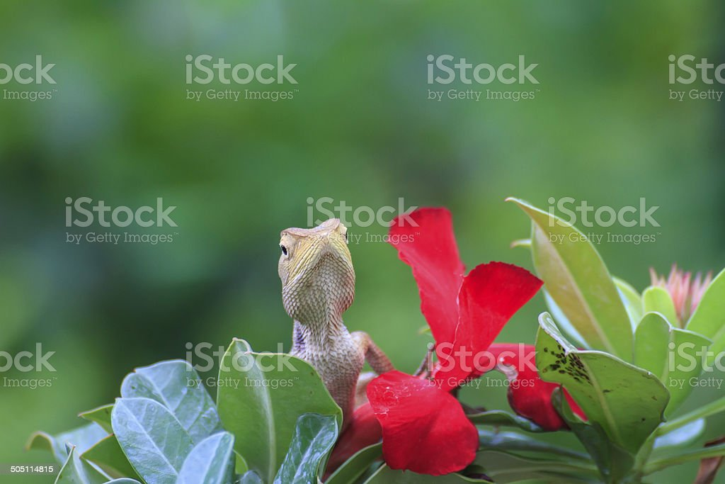 Brown or asian lizard on impala lily flower royalty-free stock photo