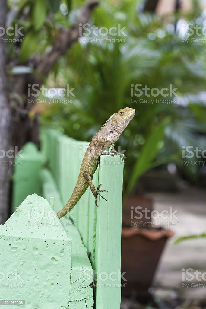 brown or asian lizard royalty-free stock photo