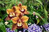 Brown orchid close view