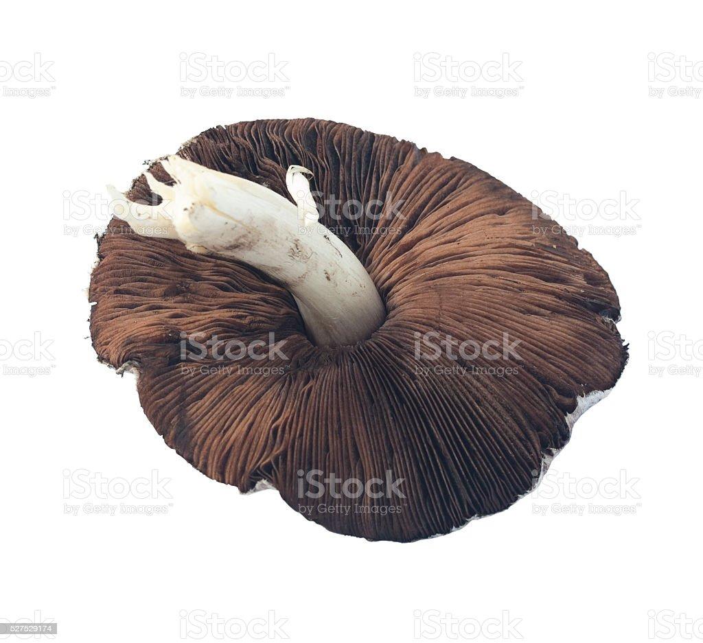 Brown Organic Field Mushroom stock photo