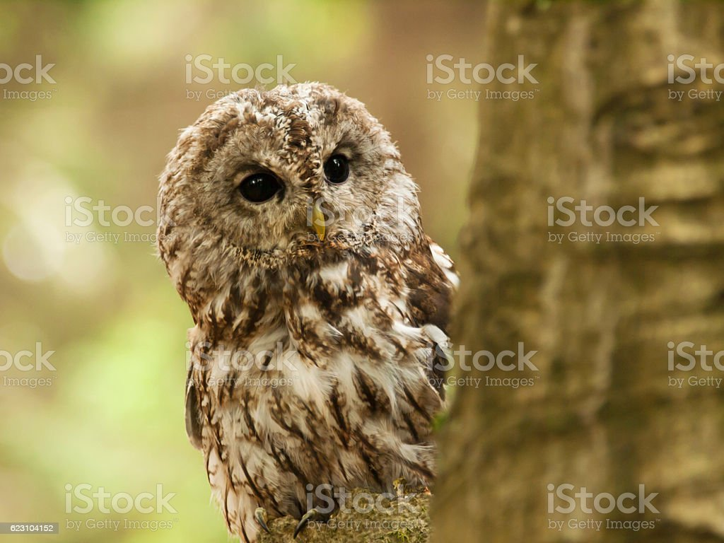 Brown owl looking behind from the tree - Strix aluco stock photo