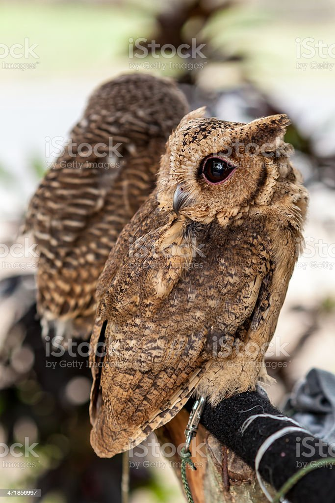 Brown owl perching royalty-free stock photo