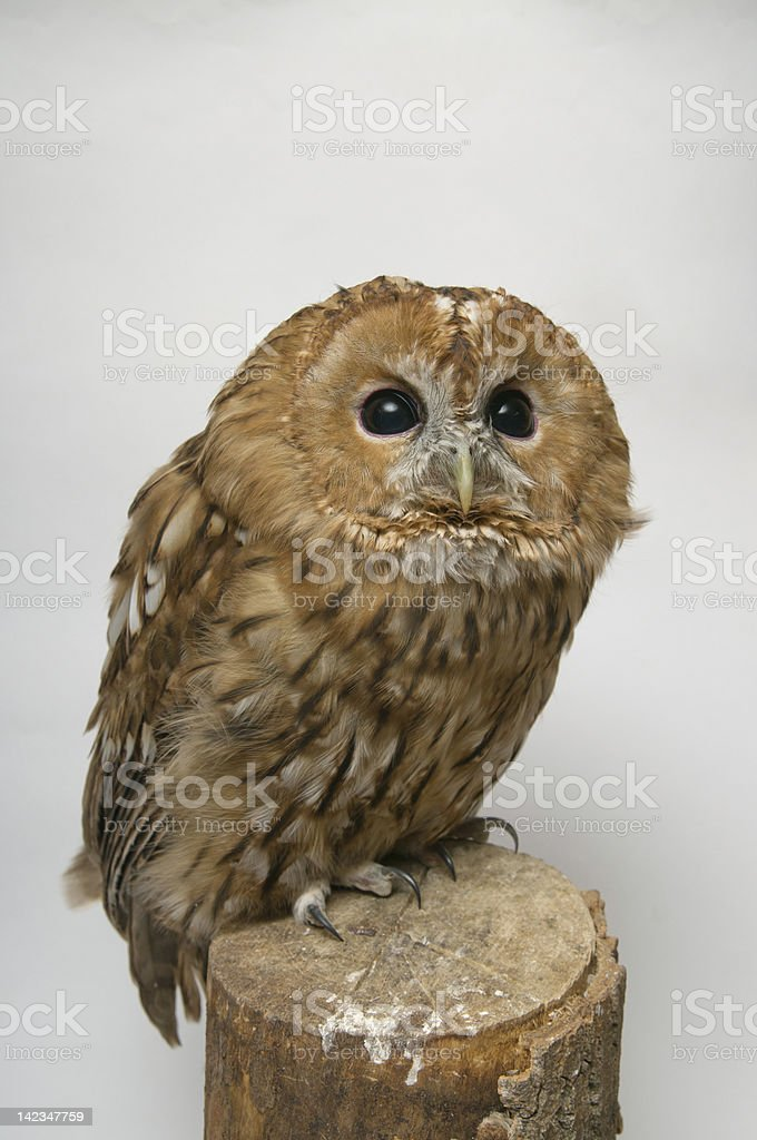 Brown Owl royalty-free stock photo