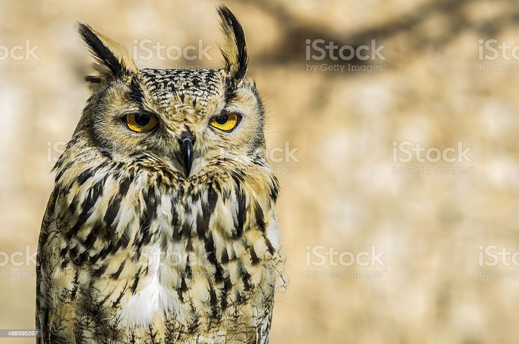 brown owl with bokeh stock photo