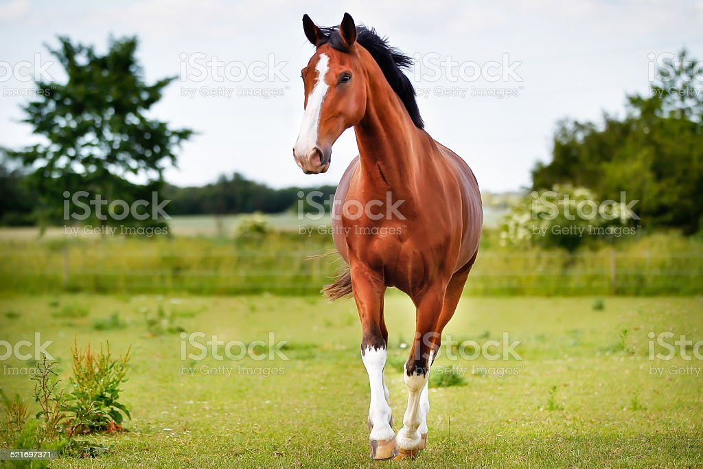Brown pedigree horse stock photo