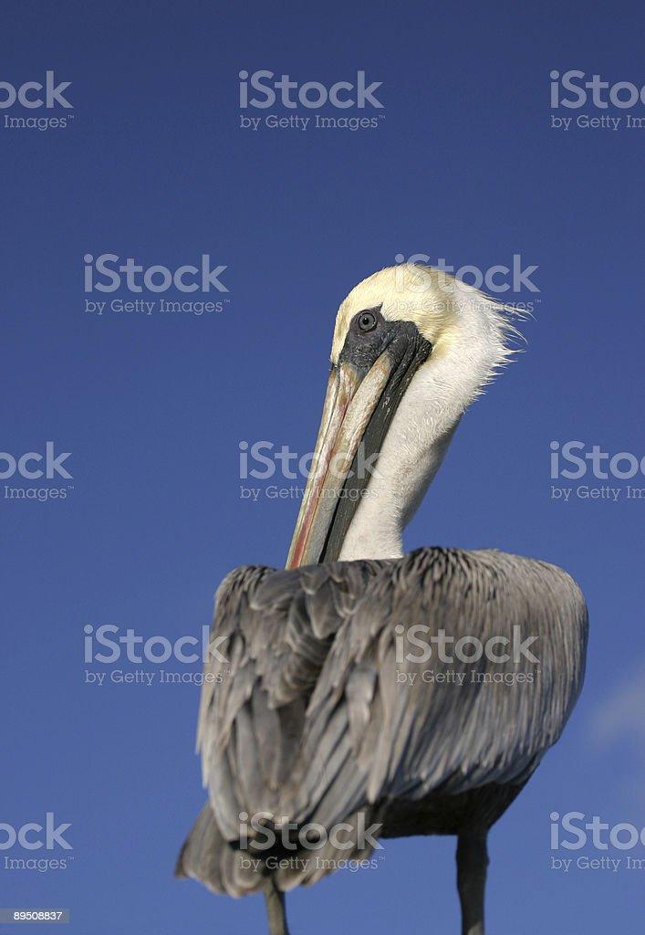 Brown pelican (Pelecanus occidentalis) against a blue sky copy space royalty-free stock photo