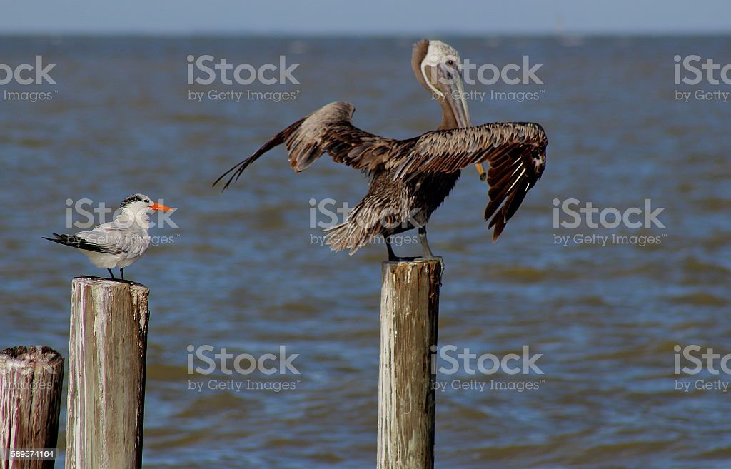 Brown Pelican and Royal Tern on a Pylon stock photo